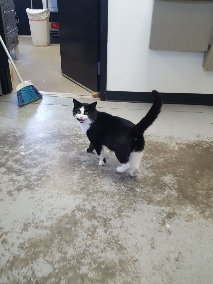 Amos, an adopted Domestic Short Hair in Stanton, KY