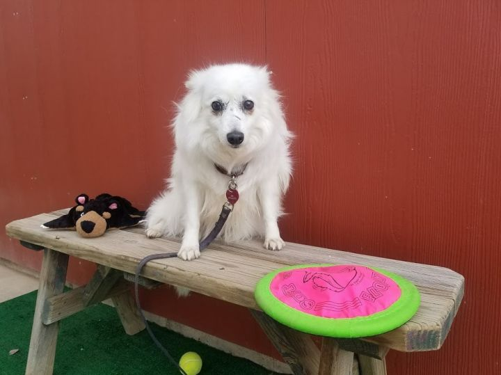 Galena, an adoptable American Eskimo Dog in Ridgway, CO