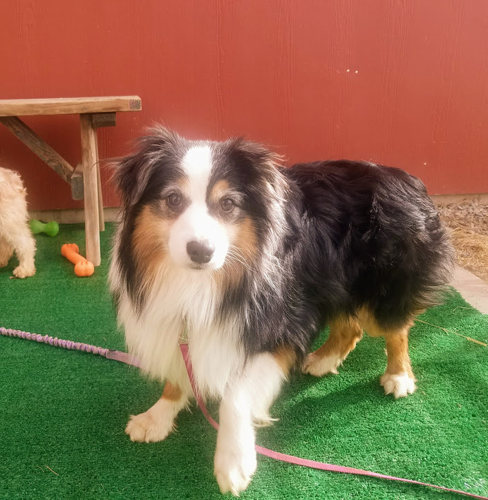 Frodo, an adoptable Australian Shepherd in Ridgway, CO
