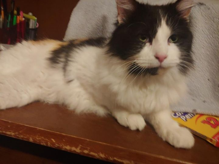 Tallia, an adoptable Domestic Long Hair in Spanish Fork, UT