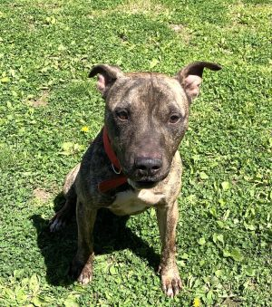 Spike is a mixed breed brindle dog who is about 45 years old and about 45 lbs he wound up