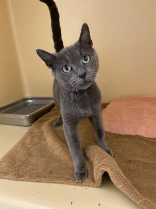 Penny, an adoptable Domestic Short Hair in Clarks Summit, PA