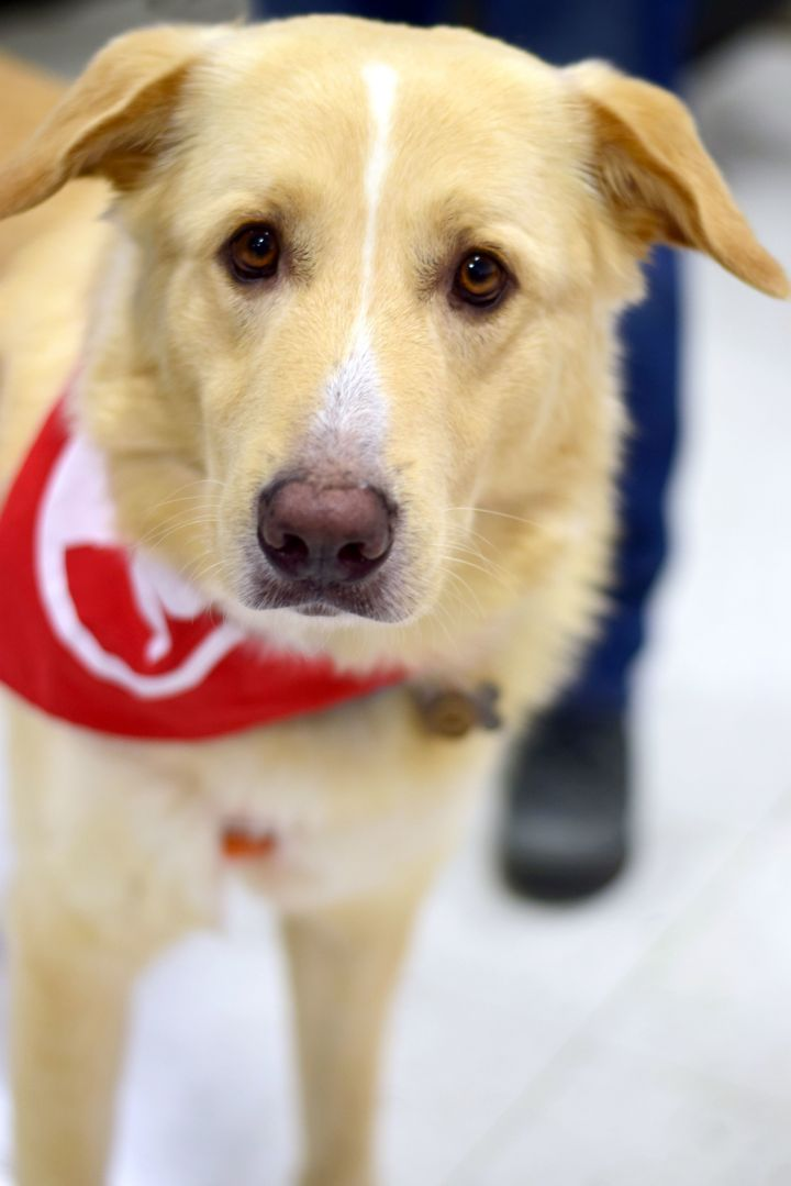 Igor Cavalera, an adoptable Collie & Great Pyrenees Mix in Schaumburg, IL