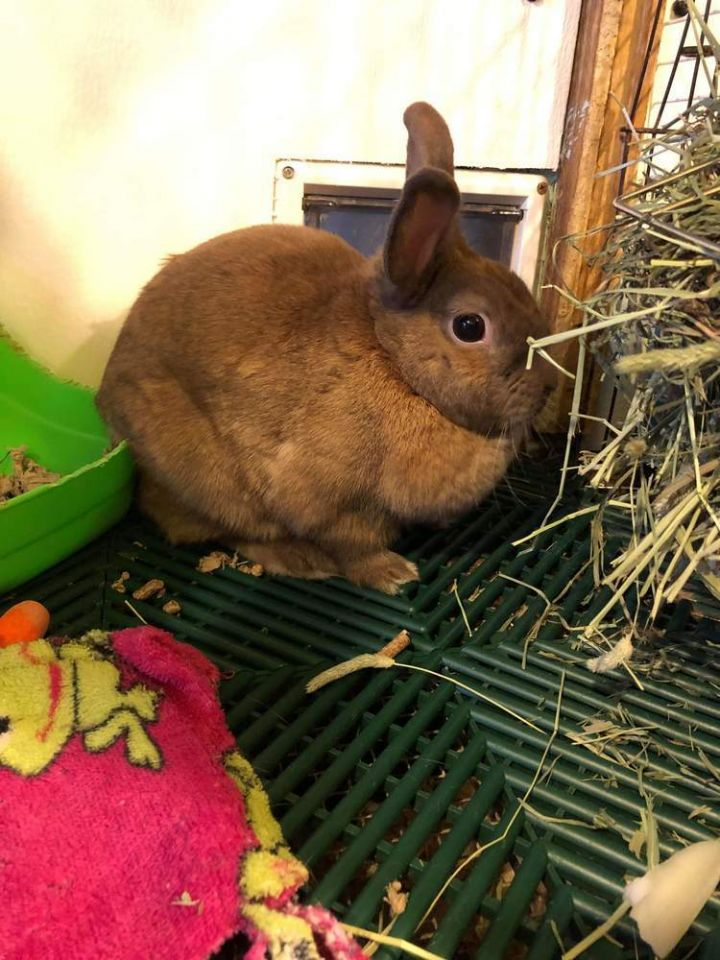 Lola, an adoptable Netherland Dwarf in Dallas, PA