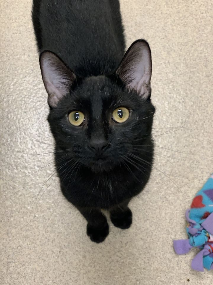 George, an adoptable Domestic Short Hair in Naperville, IL