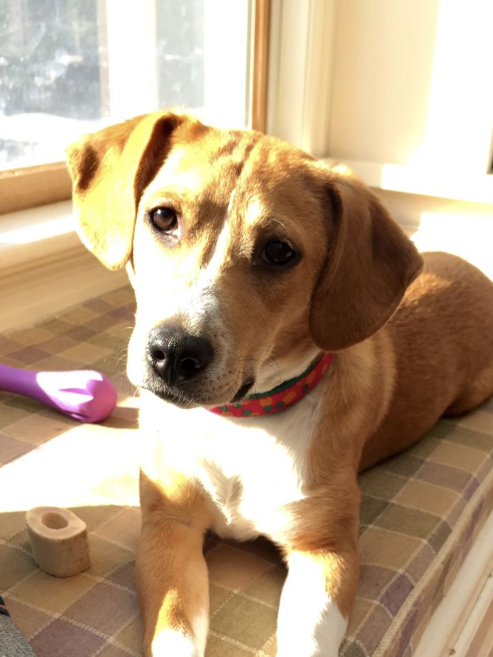 Bailey, an adopted Beagle Mix in Brunswick, ME
