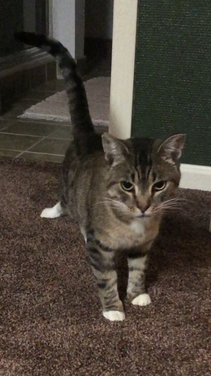 Libby, an adopted Domestic Short Hair in Highland, IN