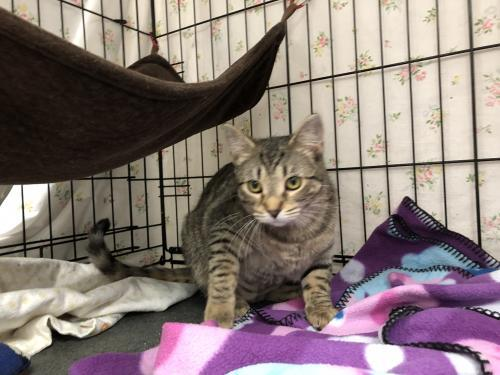 Nakoma, an adoptable Tabby & Domestic Short Hair Mix in Monroe, MI