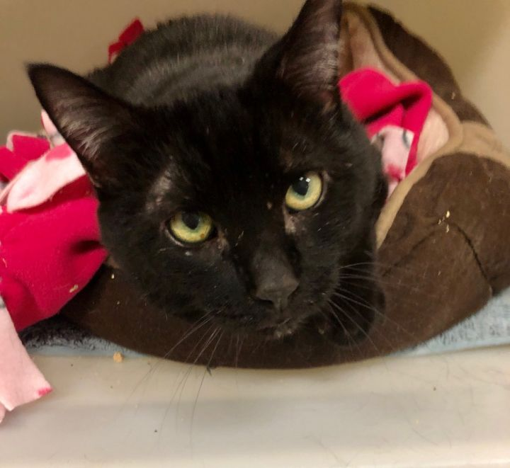 Licorice, an adopted Domestic Short Hair in Danbury, CT