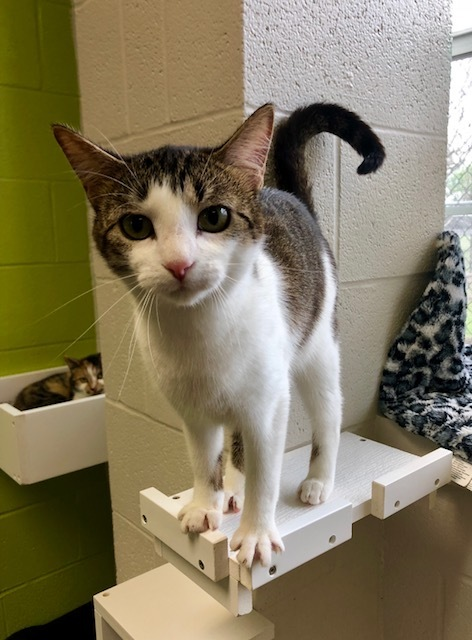 Trix, an adoptable Domestic Short Hair Mix in Carencro, LA