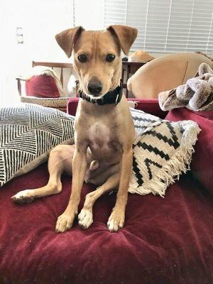 Winston Terrier Dog
