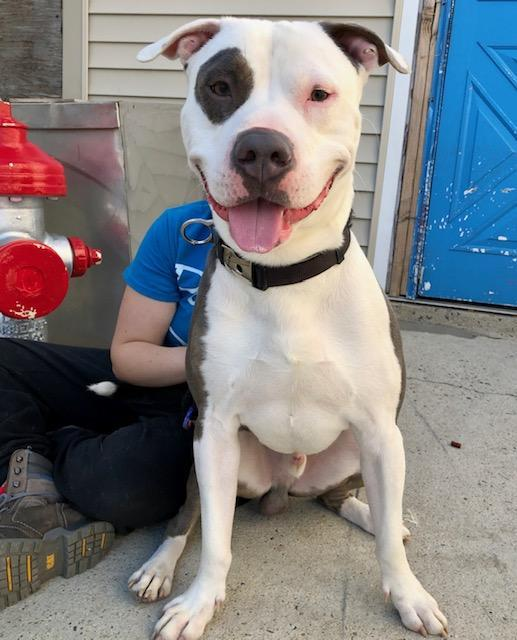 Odin, an adoptable American Staffordshire Terrier in Long Beach, NY