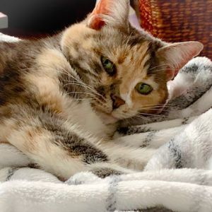 Sweet Donna is a Dilute Calico beauty She is very affectionate and loves attention She has a sweet