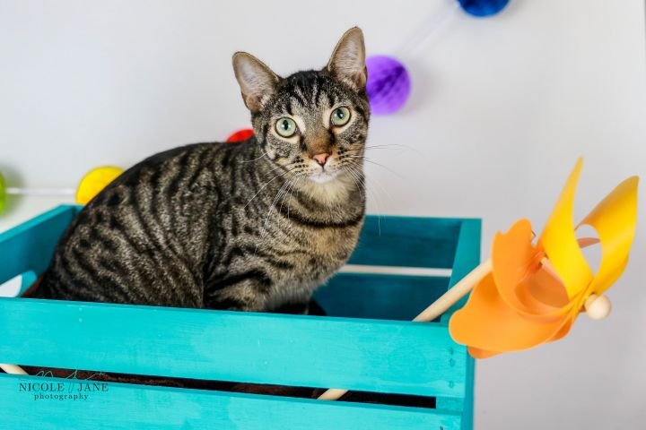 O Ryan, an adoptable American Shorthair Mix in Springfield, MO