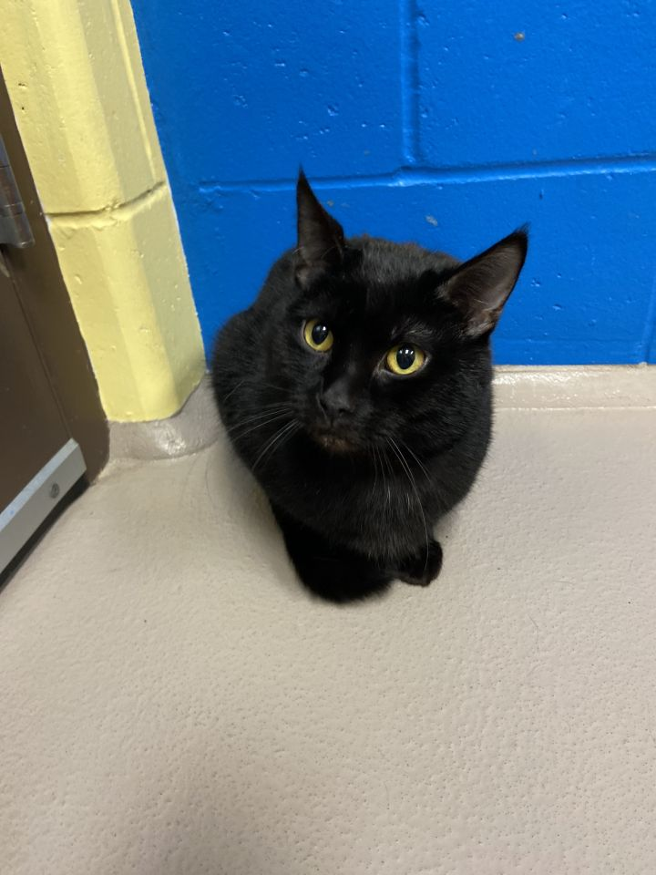 Justin, an adopted Domestic Short Hair Mix in Appleton, WI