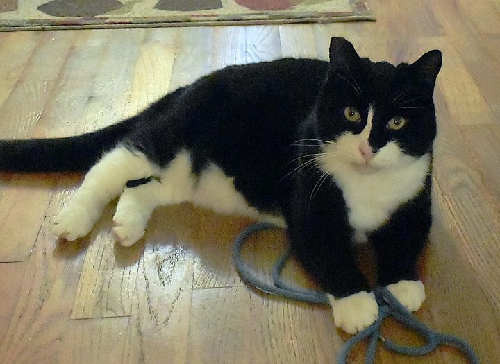 Mr. Peabody, an adoptable Tuxedo & Domestic Short Hair Mix in Springfield, OR