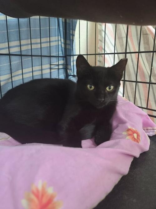 Coal, an adoptable Domestic Short Hair in Monroe, MI