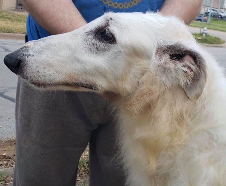 Edward, an adoptable Borzoi in McLean, VA