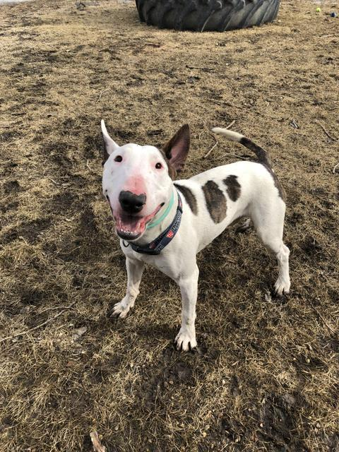 Chico, an adoptable Bull Terrier in Minot, ND