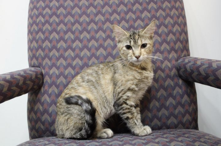 Goldilocks, an adoptable American Shorthair Mix in Springfield, MO
