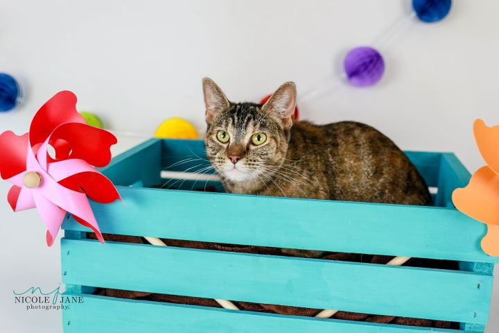 Honey, an adoptable American Shorthair Mix in Springfield, MO