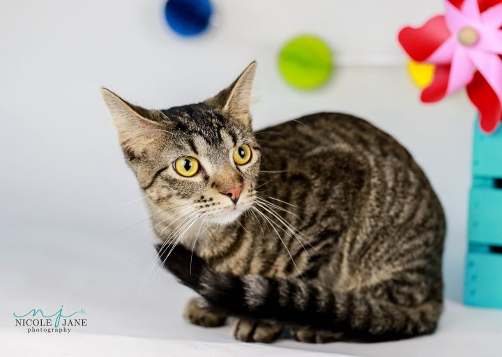 Gucci, an adoptable American Shorthair Mix in Springfield, MO
