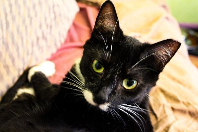 Buddy, an adoptable Domestic Short Hair & Tuxedo Mix in Ann Arbor, MI