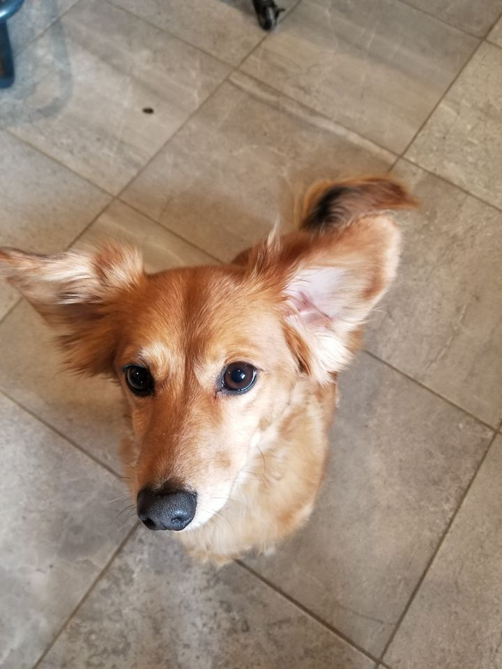 Bella, an adopted Dachshund & Pomeranian Mix in South Charleston, OH