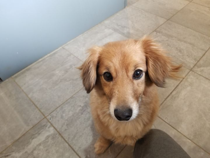 Rover, an adopted Dachshund & Pomeranian Mix in South Charleston, OH