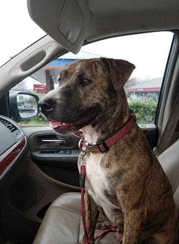 Lizzy, an adoptable Plott Hound & Boxer Mix in Somers, CT