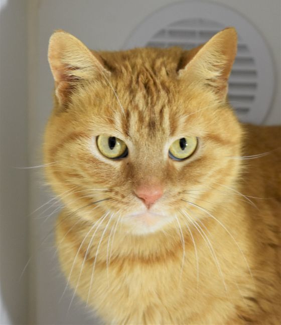 Mango, an adopted Domestic Short Hair & Tabby Mix in St Charles, MO