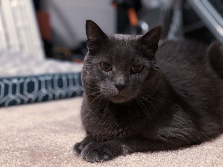 Maisy Gray, an adoptable Domestic Short Hair in Frederick, MD