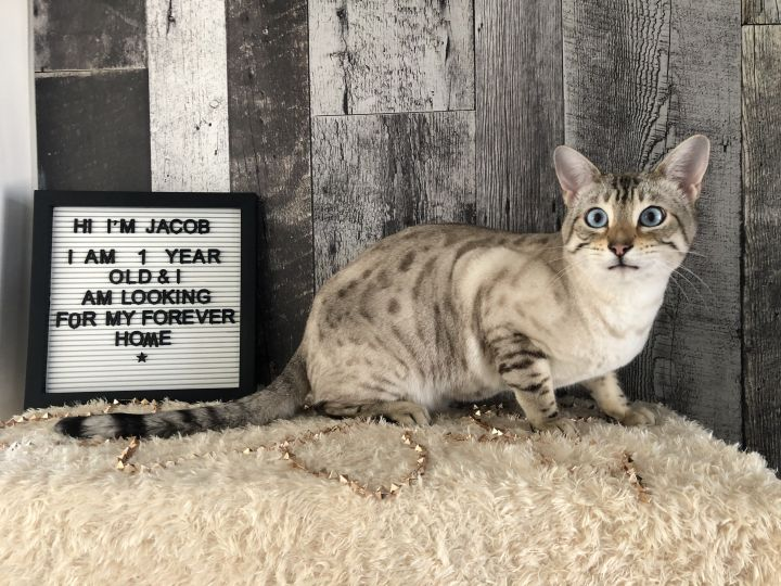 Jacob, an adopted Domestic Short Hair in St. Catharines, ON