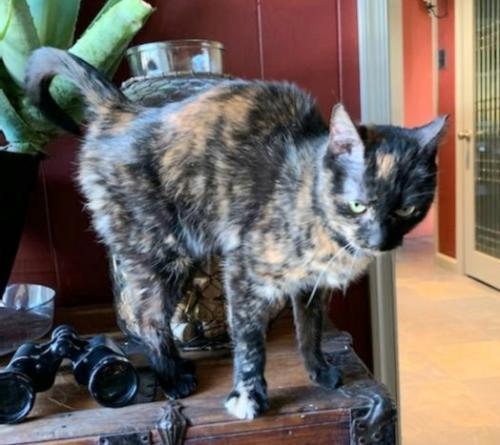 Mischief, an adoptable Domestic Short Hair in Trenton, NJ