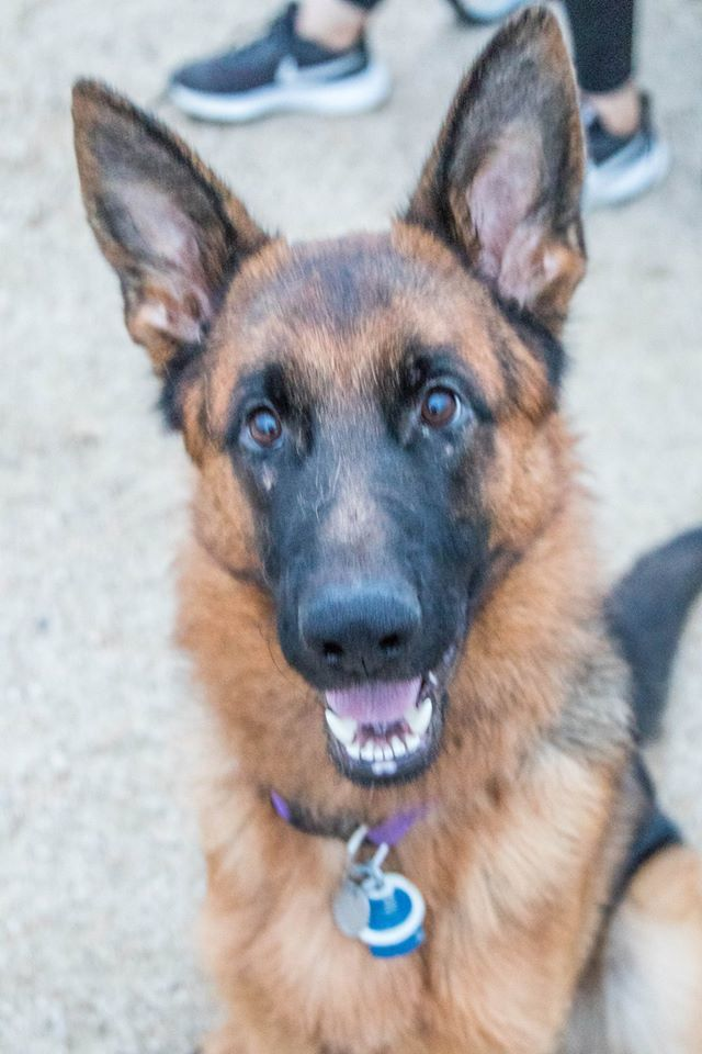 Sam, an adopted German Shepherd Dog in Glendale, AZ