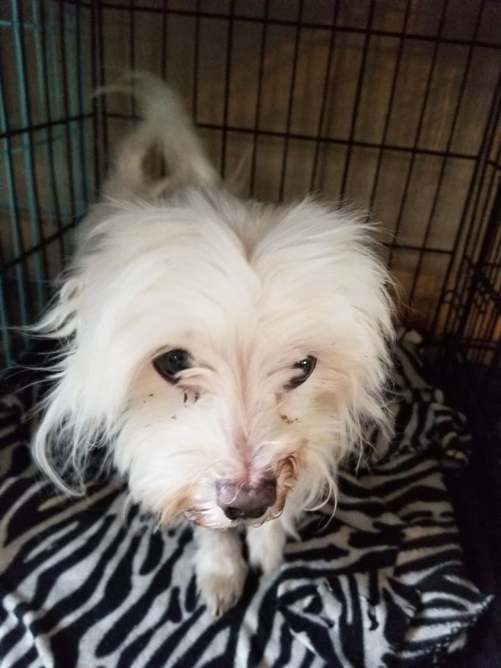 Boo, an adopted Maltese in South Charleston, OH