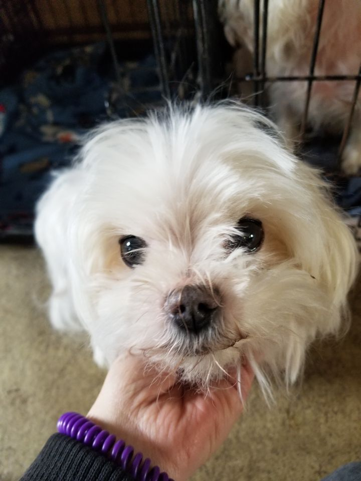 Cloud, an adopted Maltese in South Charleston, OH_image-1