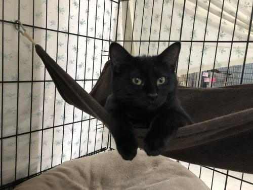 Cara, an adoptable Domestic Short Hair in Monroe, MI