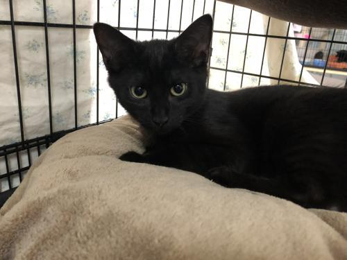 Calvin, an adoptable Domestic Short Hair in Monroe, MI