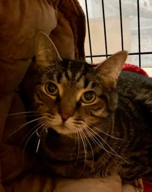 This adorable boy is Trevor He is a nine-year-old tabby who came to us due to medical reasons with