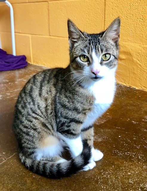 Vienna, an adopted Domestic Short Hair Mix in Carencro, LA