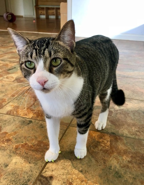 Oliver, an adoptable Domestic Short Hair Mix in Carencro, LA