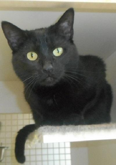 Angel, an adoptable Domestic Short Hair Mix in St Charles, MO