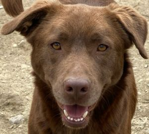 Tobias is a one year-old Labrador Retriever mix rescued from Georgia If interested in adopting you