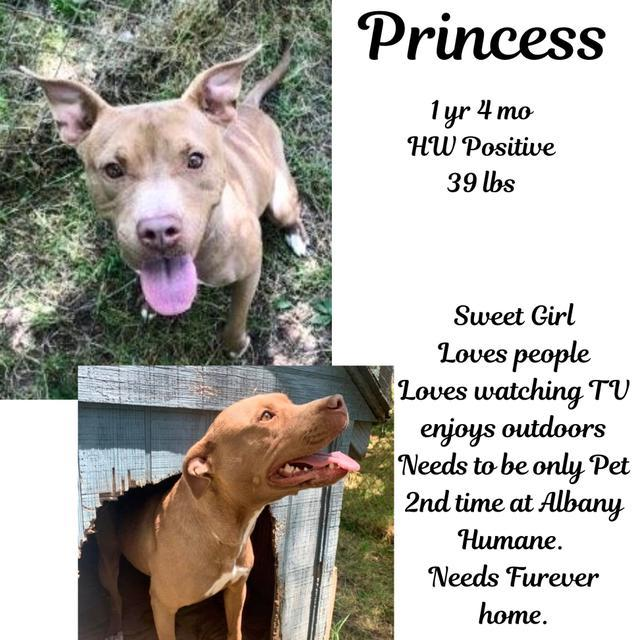 Princess, an adoptable Pit Bull Terrier in Albany, GA