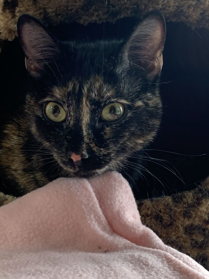 Madam Mouse, an adoptable Calico in Patterson, NY