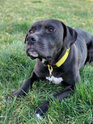 PUPPET Pit Bull Terrier Dog