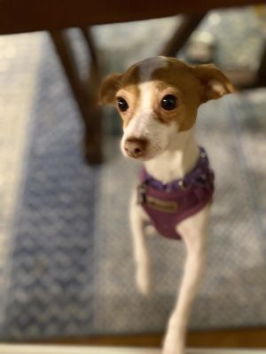 Breed Chihuahua mix Age 2 yrs Weight 12 lbs Good with dogs yes Good with cats yes Good with k