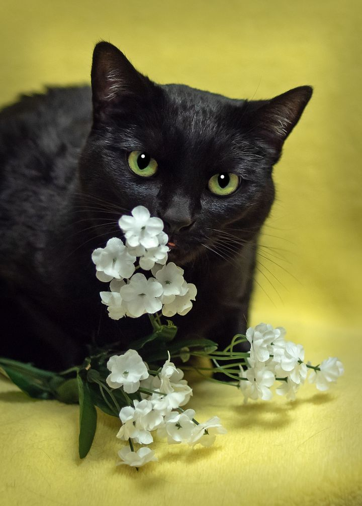 Blossom, an adoptable Domestic Short Hair in Harrisburg, PA