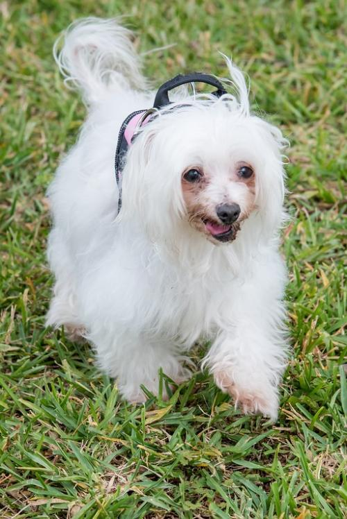Lulu, an adopted Chinese Crested Dog Mix in Miami, FL
